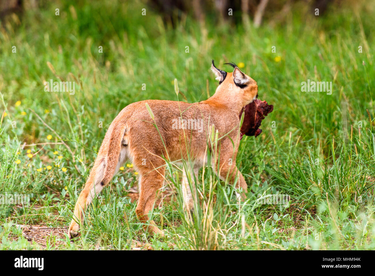 Caracal at the Naankuse Wildlife Sanctuary, Namibia, Africa - Stock Image