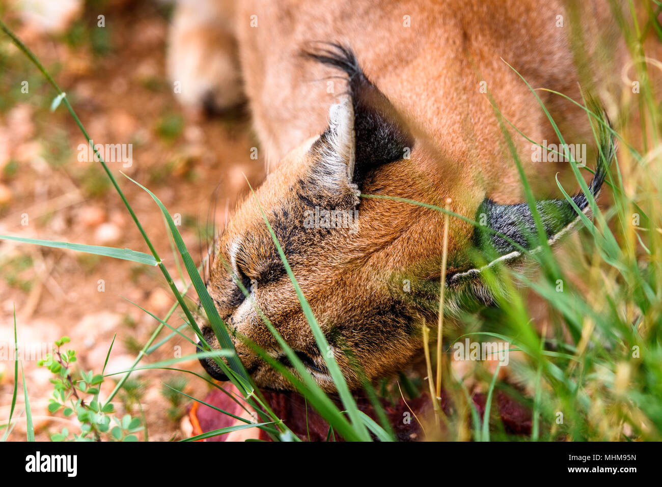 Caracal eating meat at the Naankuse Wildlife Sanctuary, Namibia, Africa - Stock Image