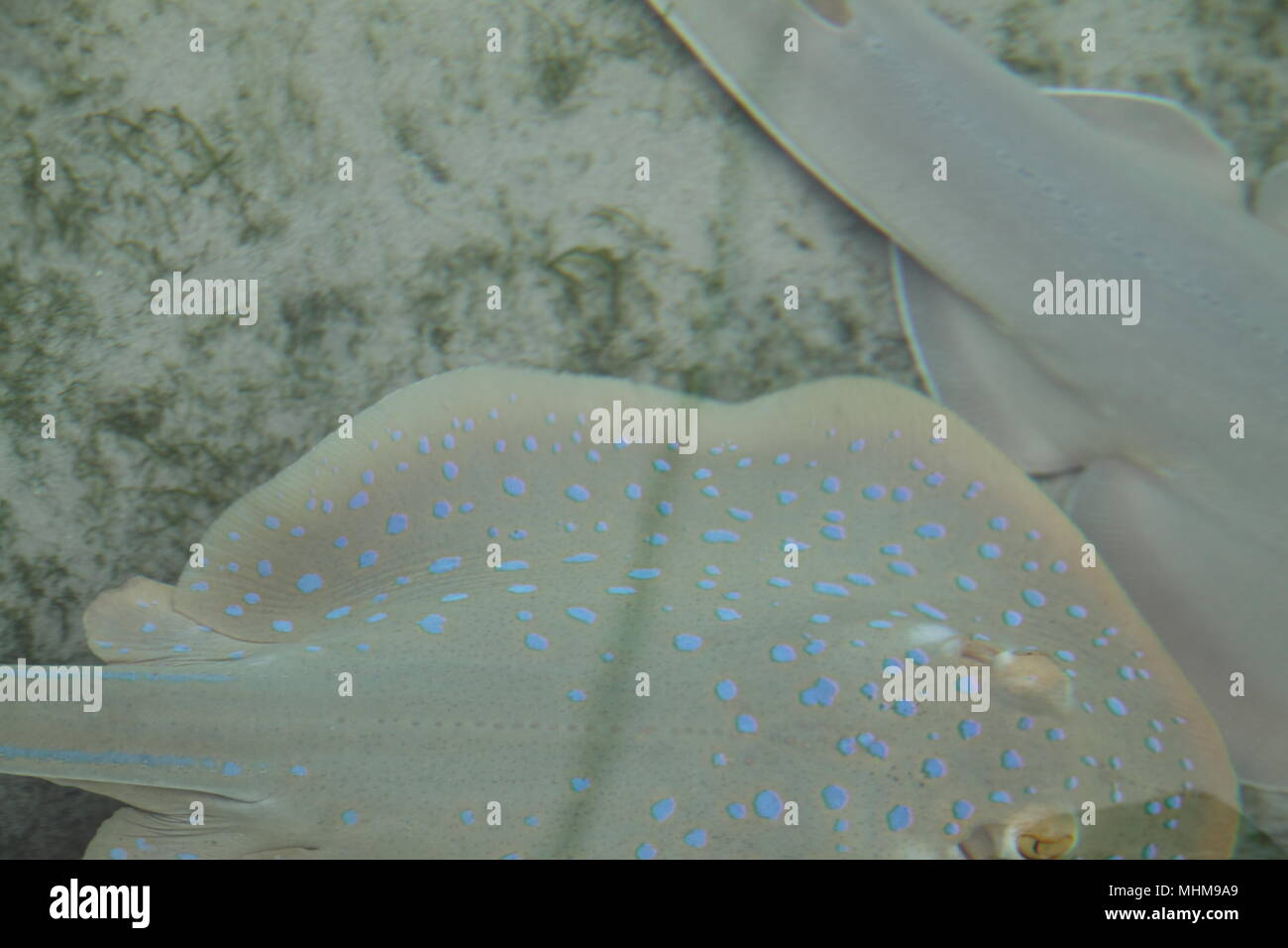 Bluespotted Fantail Rays (Taeniura Lymma) - Stock Image