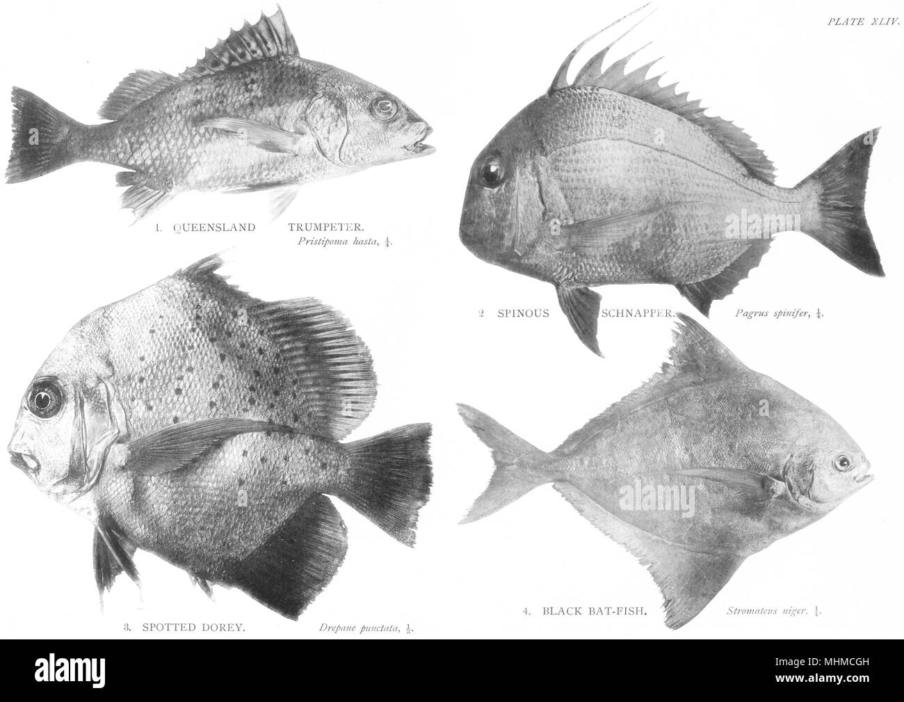 GT BARRIER REEF FISH.Queensland;Trumpeter;Spinous Snapper;Spotted Dory;Bat  1900 - Stock Image