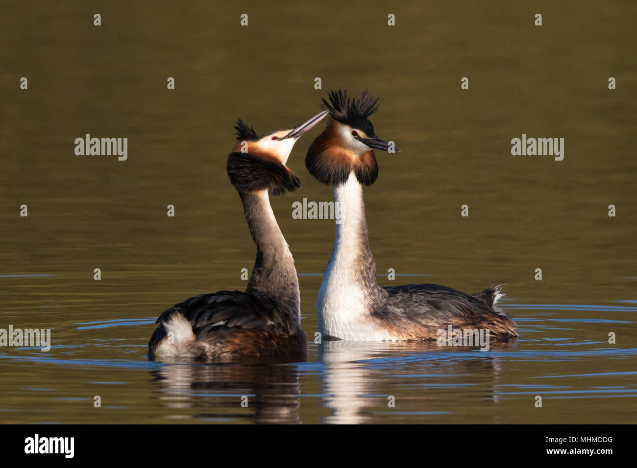 pair of Great Crested Grebes (Podiceps cristatus) facing each other at the start of their courtship display - Stock Image