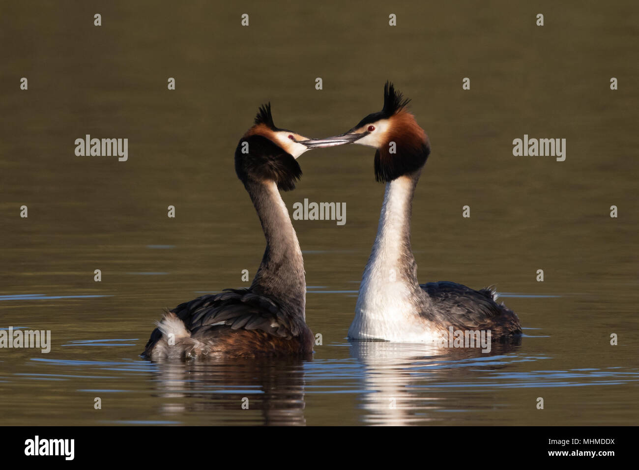 pair of Great Crested Grebes (Podiceps cristatus) fencing with their bills at the start of their courtship display - Stock Image