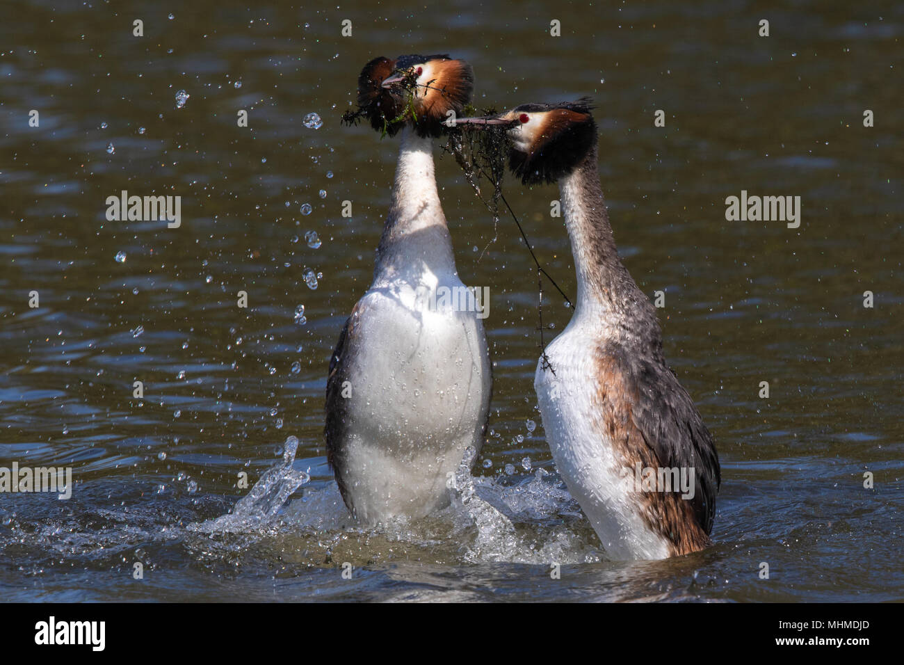 pair of Great Crested Grebes (Podiceps cristatus) dancing on the surface of a lake during their courtship display with aquatic plants in their bills - Stock Image