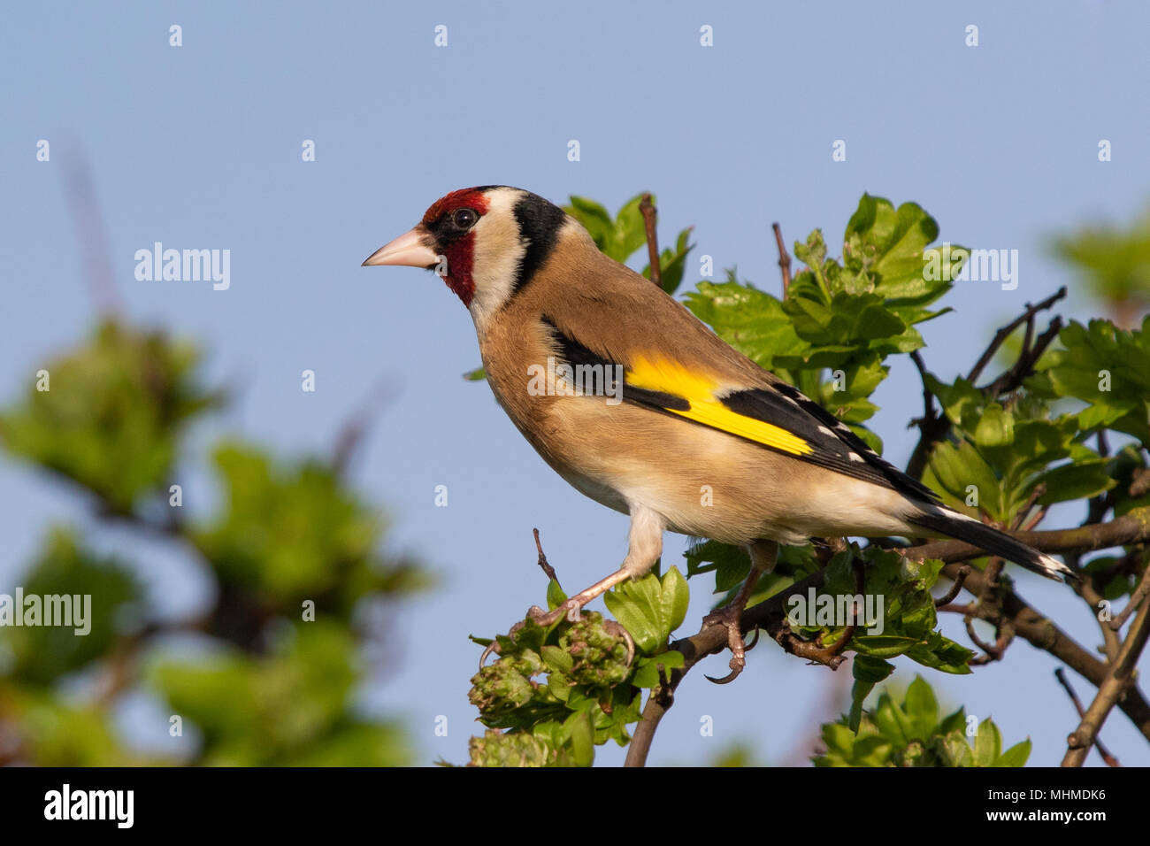 European Goldfinch (Carduelis carduelis) perched in a Hawthorn tree - Stock Image