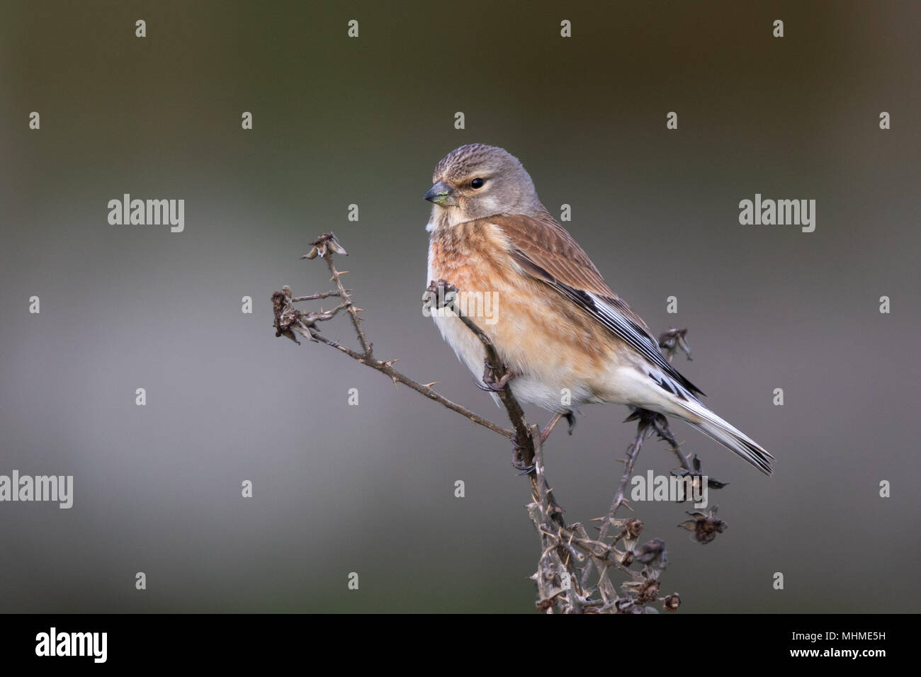 female Common Linnet (Linaria cannabina) perched on a dead plant stem - Stock Image