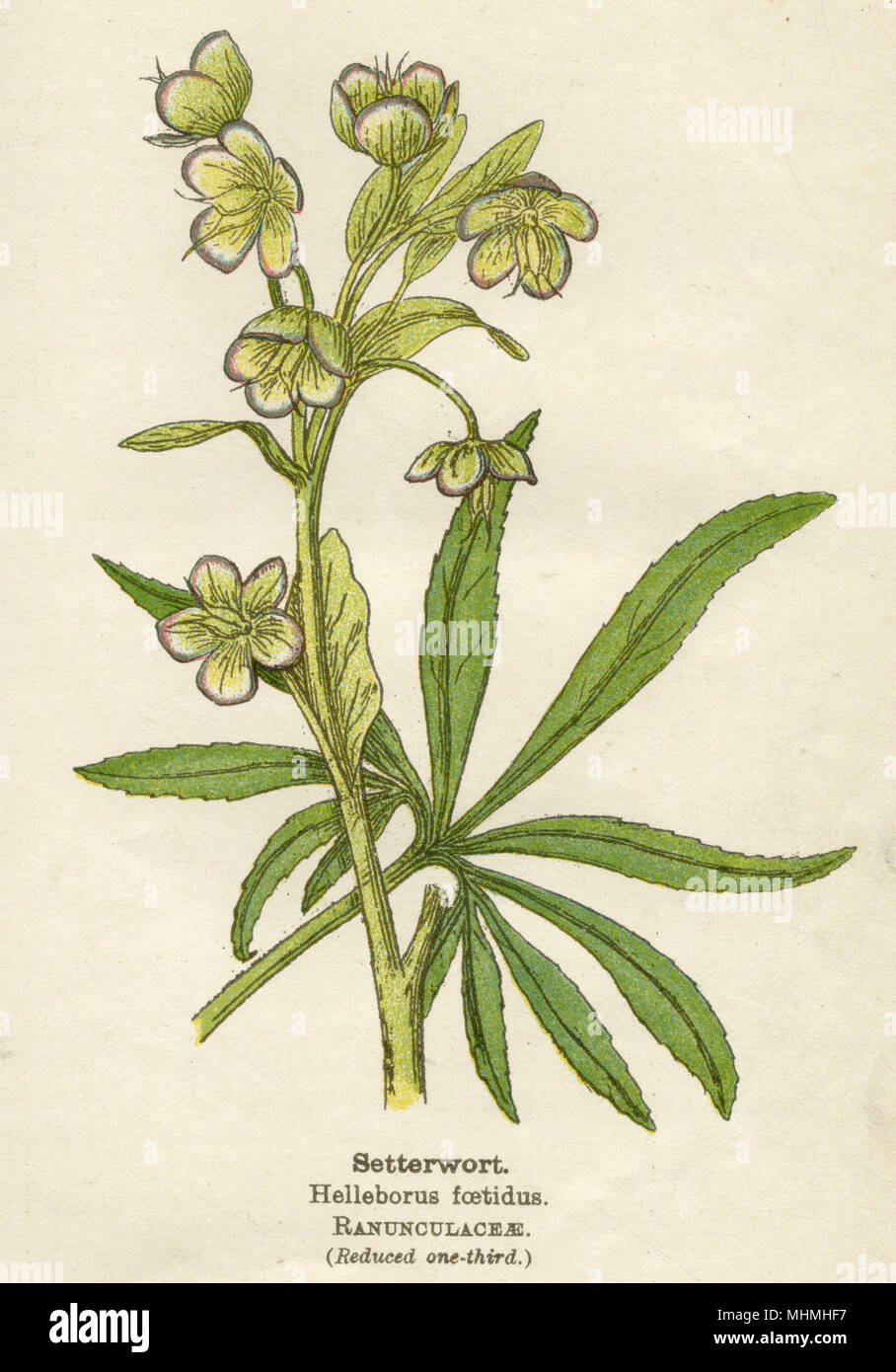 SETTERWORT       Date: early 20th century - Stock Image