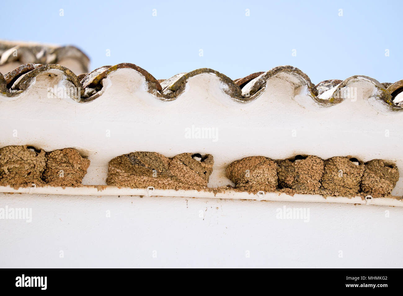 A colony of house martin nests built on a pipe close to the eaves of a whitewashed house in Benaocaz, Andalusia, Spain. - Stock Image