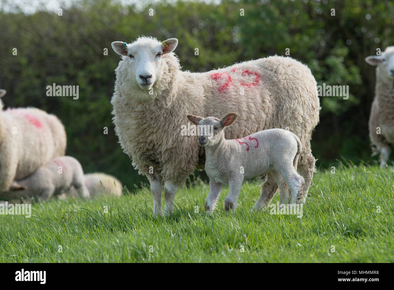 ewes and lambs in a sheep flock Stock Photo