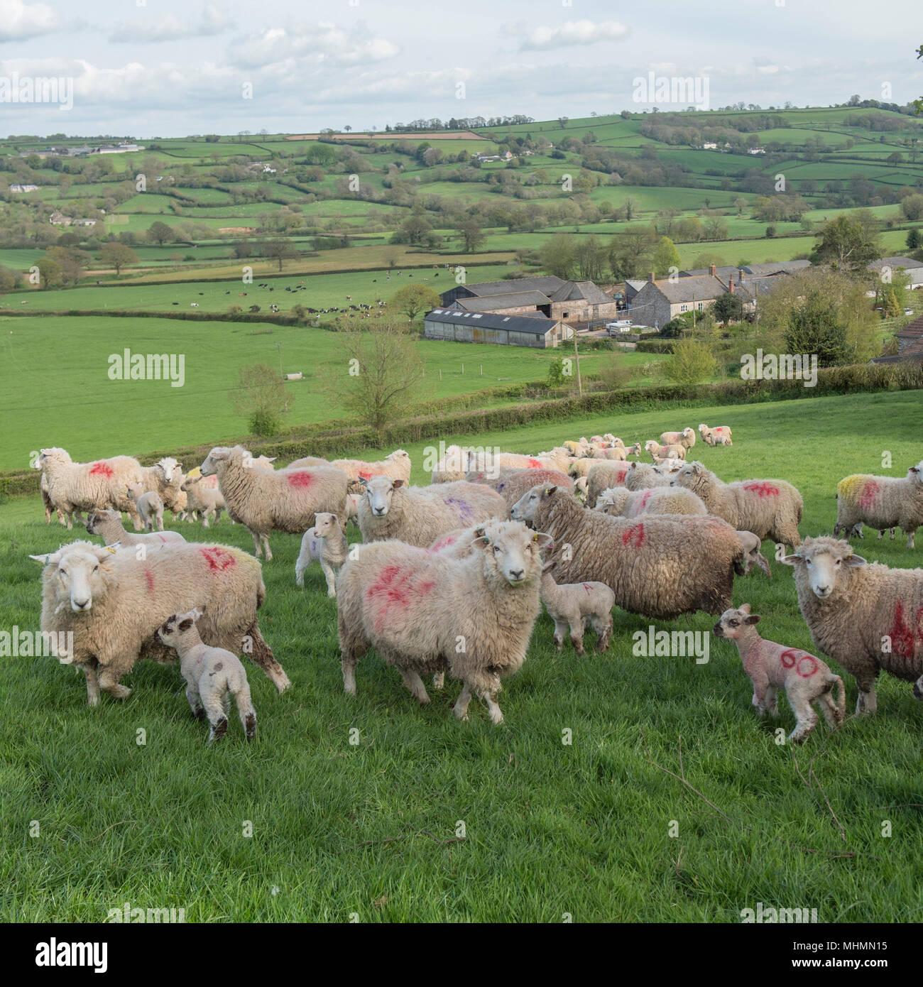 ewes and lambs in a sheep flock - Stock Image