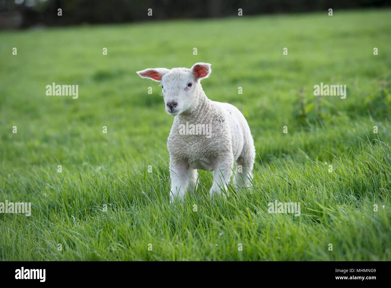 baby lamb - Stock Image