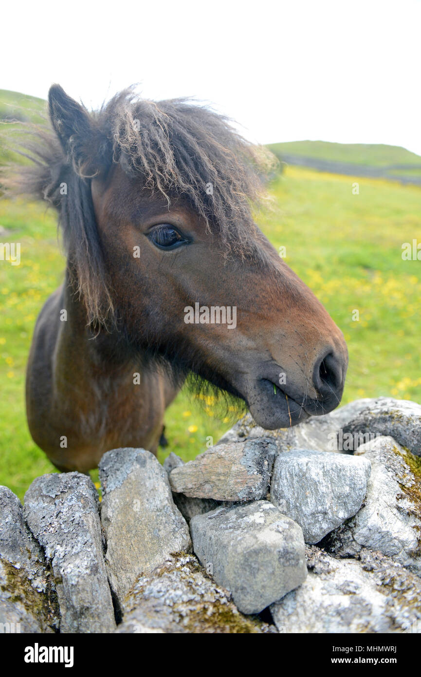 Pony looking over an old stone wall close up - Stock Image