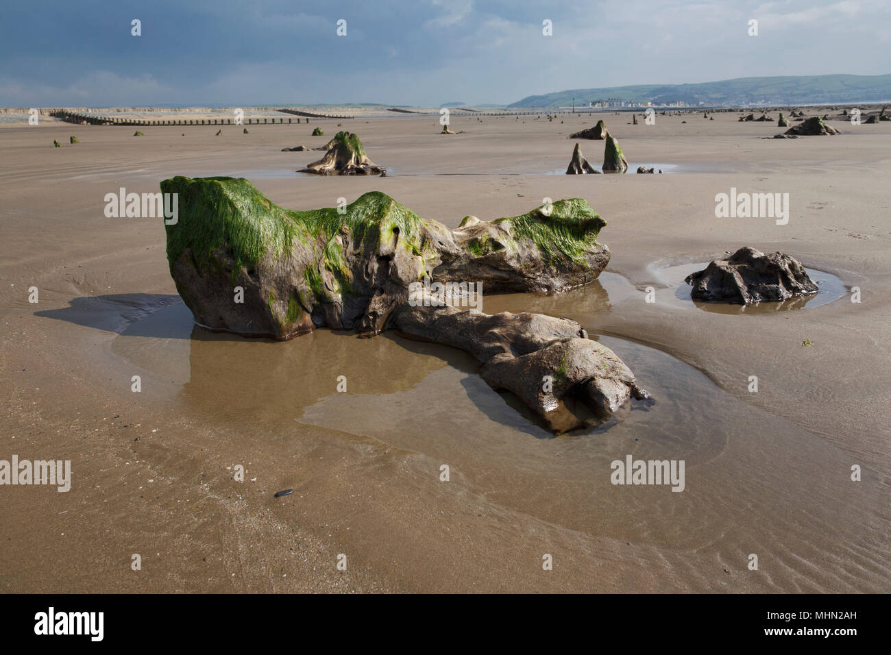 Prehistoric forest near Borth, Ceredigion, West Wales. In 2014 after storms stripped away sand revealing the ancient site, about 4.5 to 6K yrs old. - Stock Image
