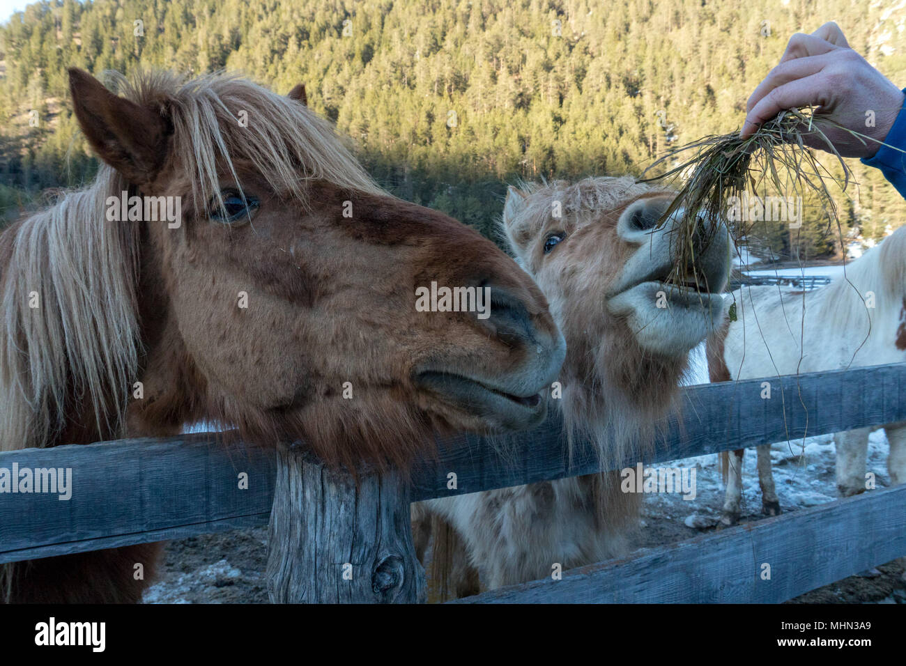 Crazy Funny Horse Eating Grass Portrait Stock Photo Alamy