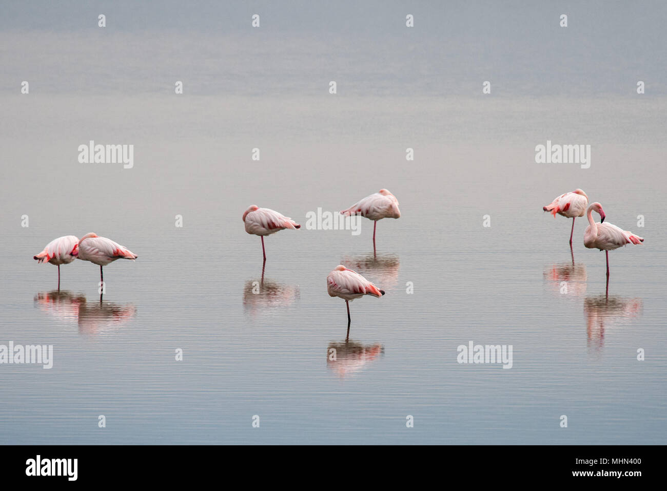 water reflection and beautiful light on pink flamingo group - Stock Image