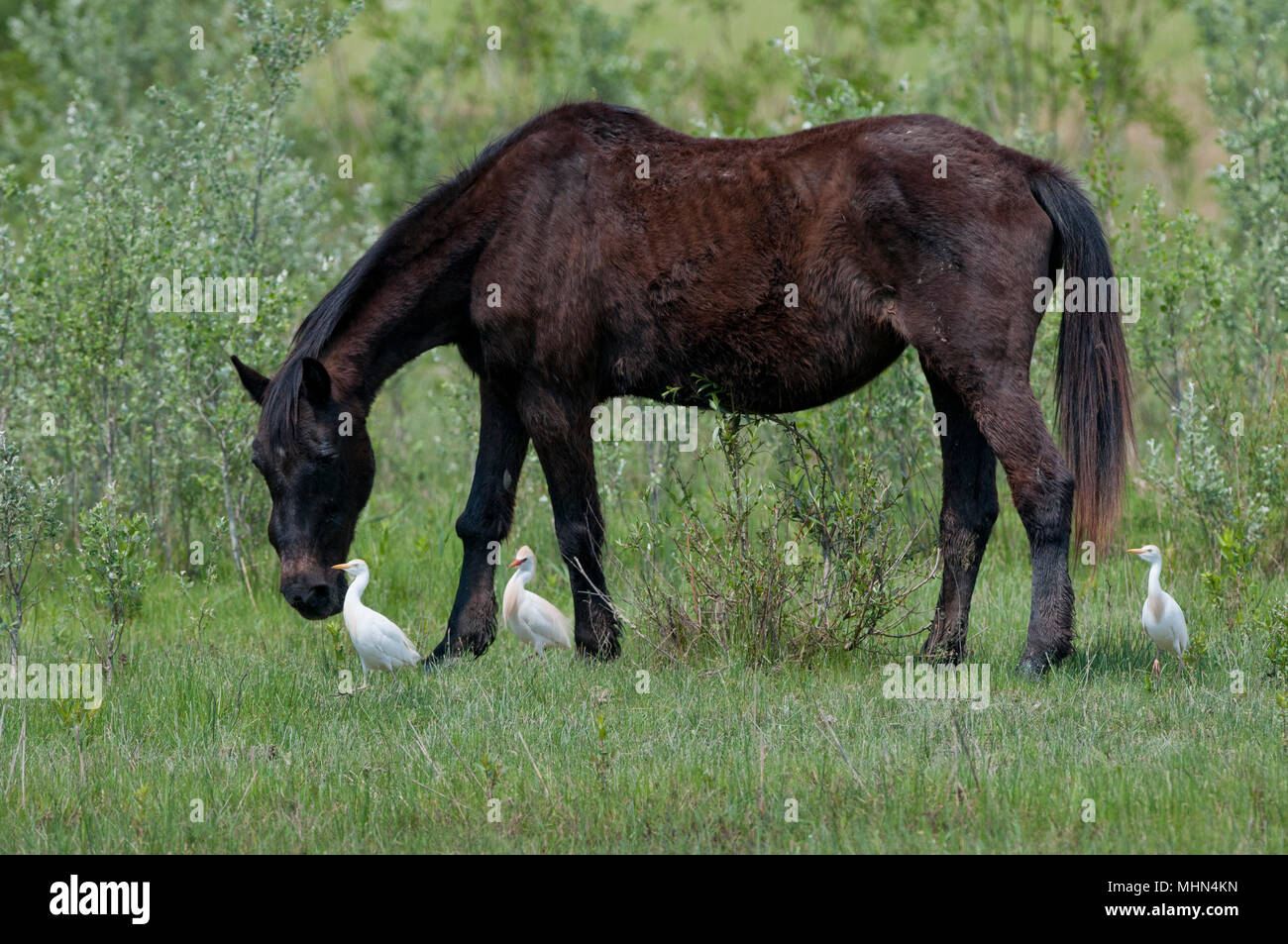 A Black Wild Horse On Green Grass Background Stock Photo Alamy