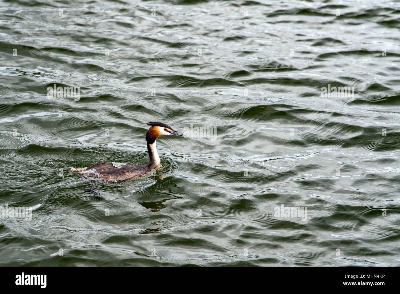 Grebe bird while swimminh in thames river in England - Stock Image