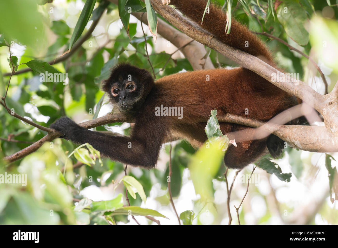 Central American Spider Monkey, Ateles geoffroyi, Cebidae, Corcovado National Park, Costa Rica, Centroamerica Stock Photo