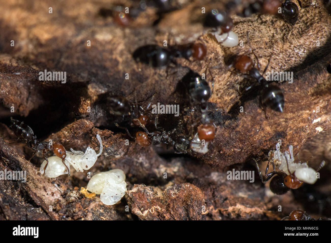 Red head black body fire ants honeypot Myrmecocystus detail