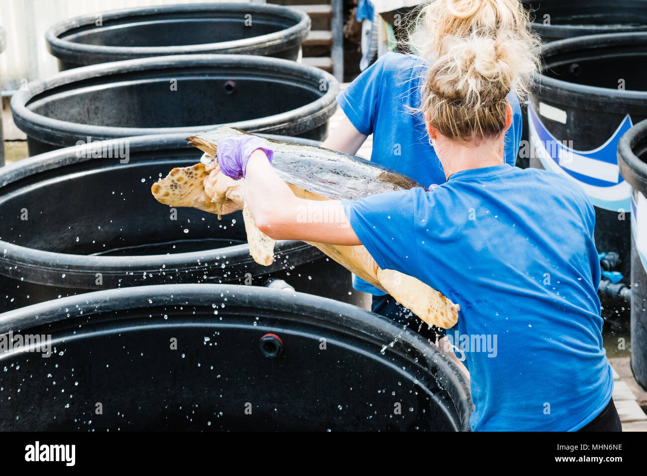 Turtle rescue team carry the sea turtle to medical treatment at Sea Turtle Rescue Centre, Glyfada, Greece - Stock Image