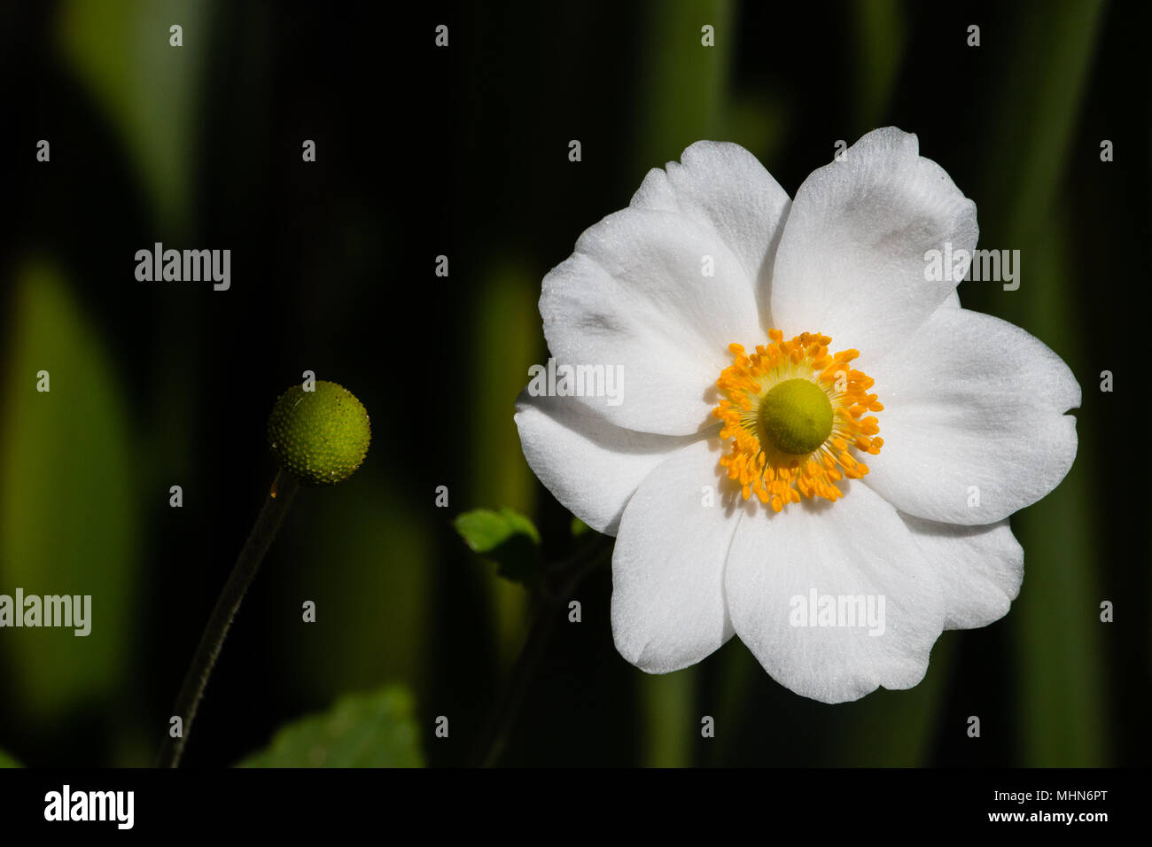 White flower with yellow centre stock photo 183019168 alamy white flower with yellow centre mightylinksfo Images