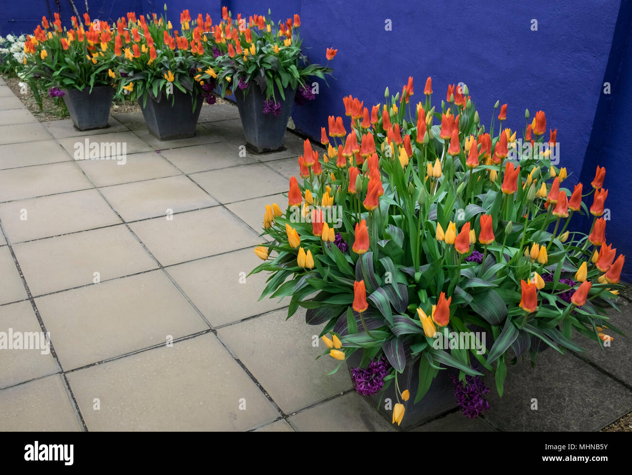 Vibrant coloured tulips and hyacinths growing in a garden pot against a warm blue background in a contemporary garden, England, UK Stock Photo