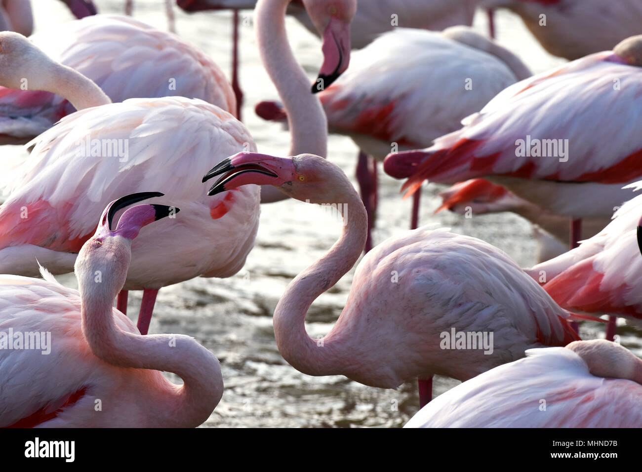 Pink Flamingos preening themselves in Camargue France - Stock Image