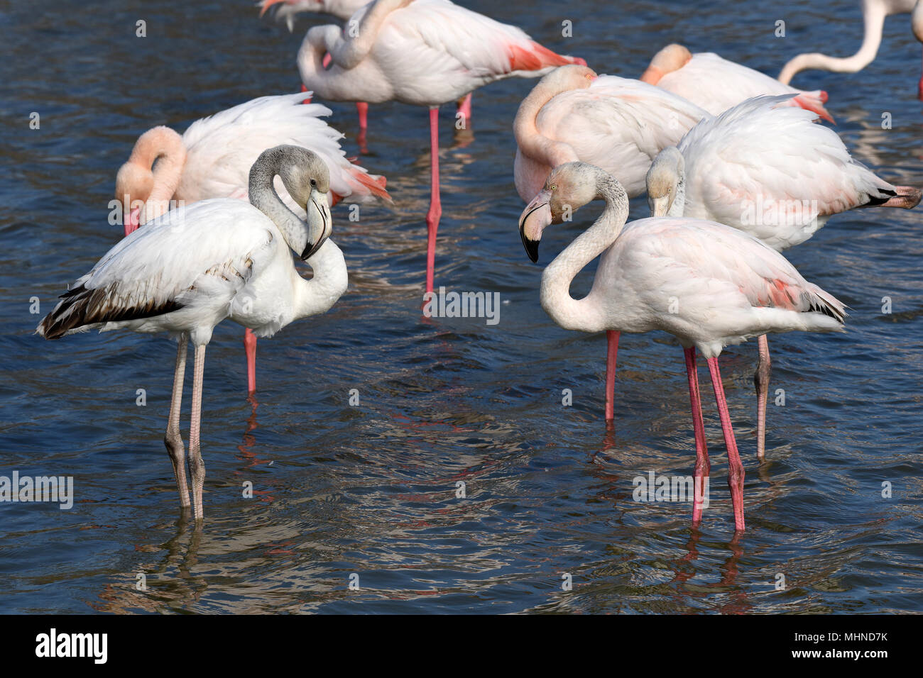 Pink Flamingos and juvenile flamingo preening themselves in Camargue France - Stock Image