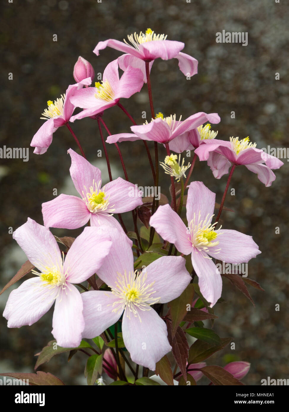 Pink Flowers Of The Deciduous Late Spring Flowering Climber