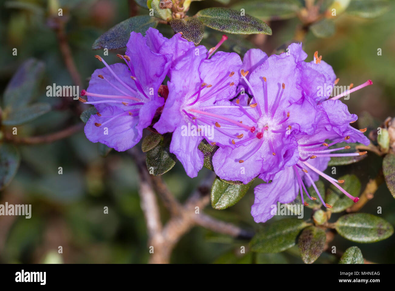 Spring flowers of the compact dwarf shrub, Rhododendron 'Ramapo' - Stock Image