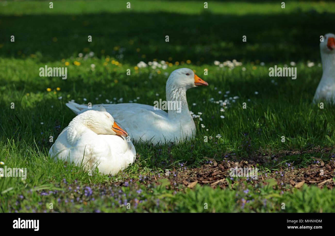 free range goose stock photos free range goose stock images alamy
