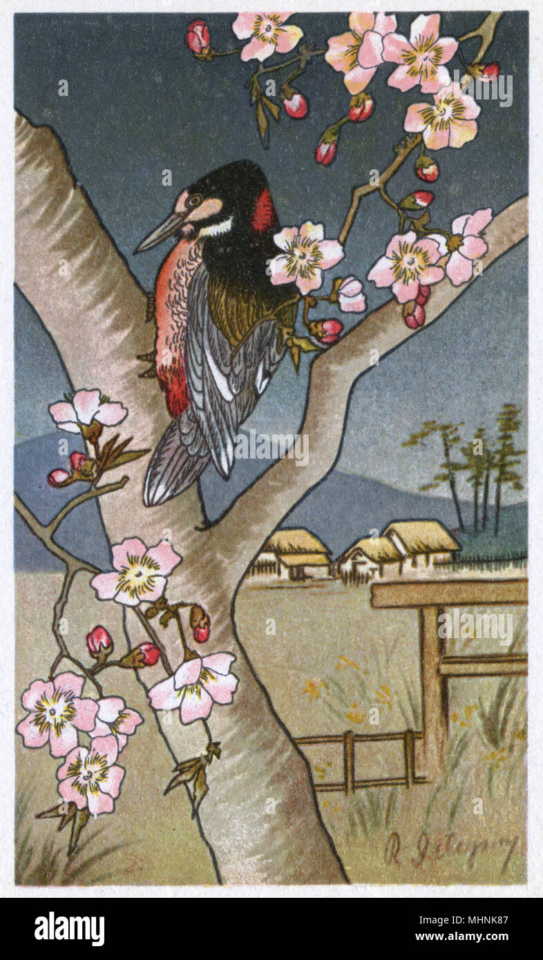 Swiss-published Japanese woodcut-style image - nature theme - A Woodpecker in a cherry blossom tree.     Date: circa 1920s - Stock Image