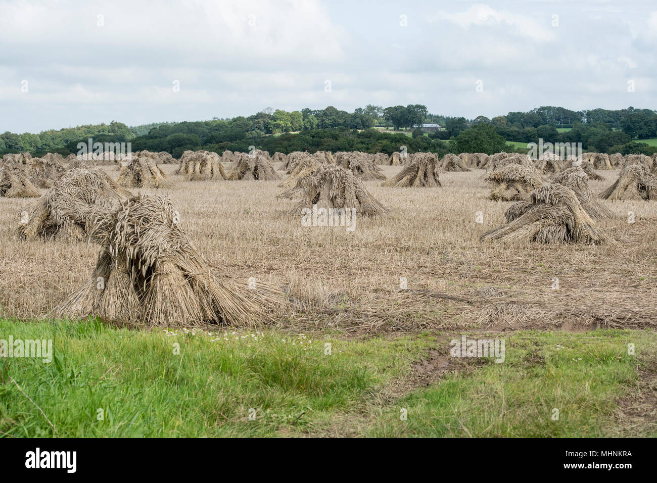 straw being stooked for thatching rooves - Stock Image