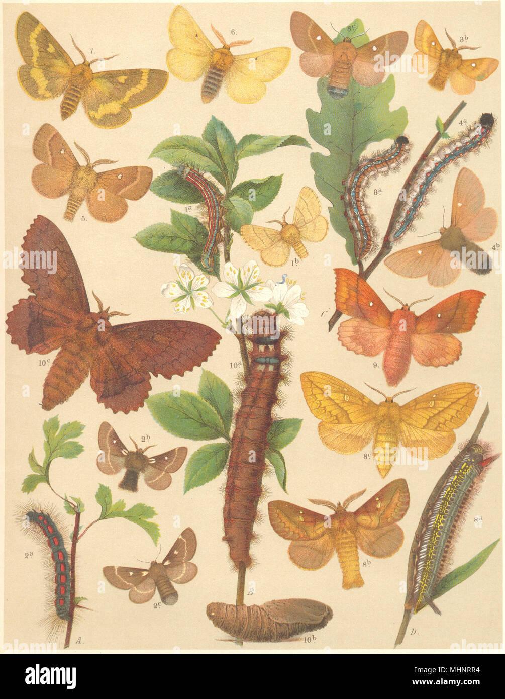 EGGAR MOTHS. Lackey, Grass; Drinker, Lappet, Hawthorn; Plum 1903 old print - Stock Image
