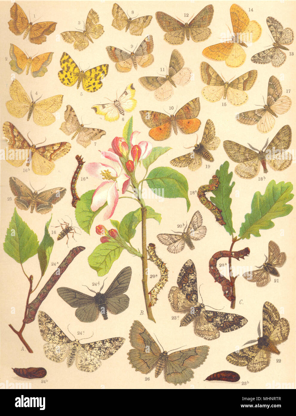 LOOPER MOTHS. Geometrae;Little Thorn;Speckled Yellow;Sharp-angled Peacock 1903 - Stock Image