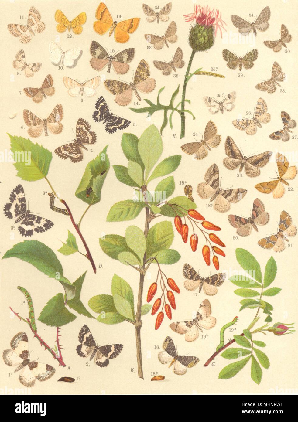LOOPER MOTHS. Beautiful Carpet. Argent Sable; Pretty Pinion; Grass Rivulet 1903 - Stock Image