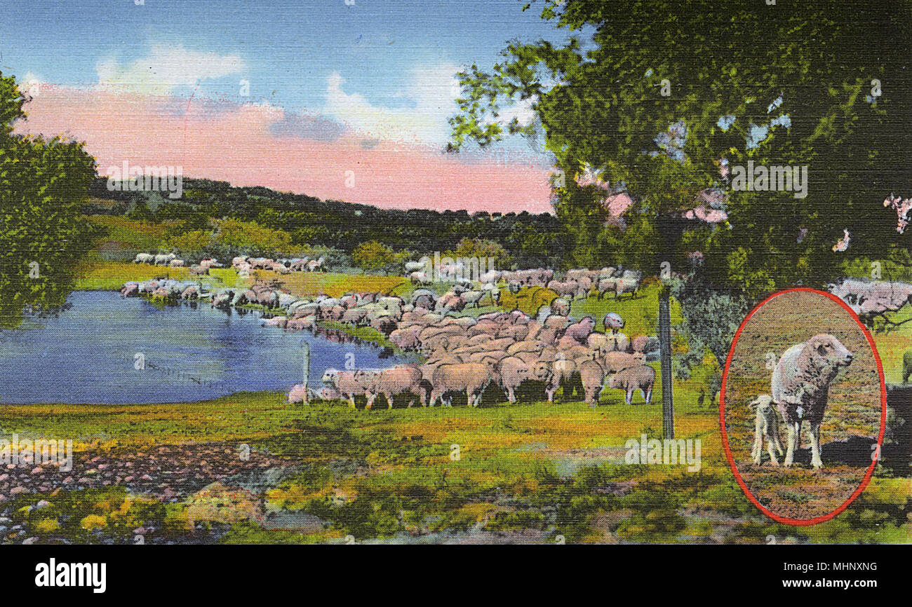Postcard booklet, Sheep on the range at San Angelo, Texas, USA.      Date: 1942 - Stock Image