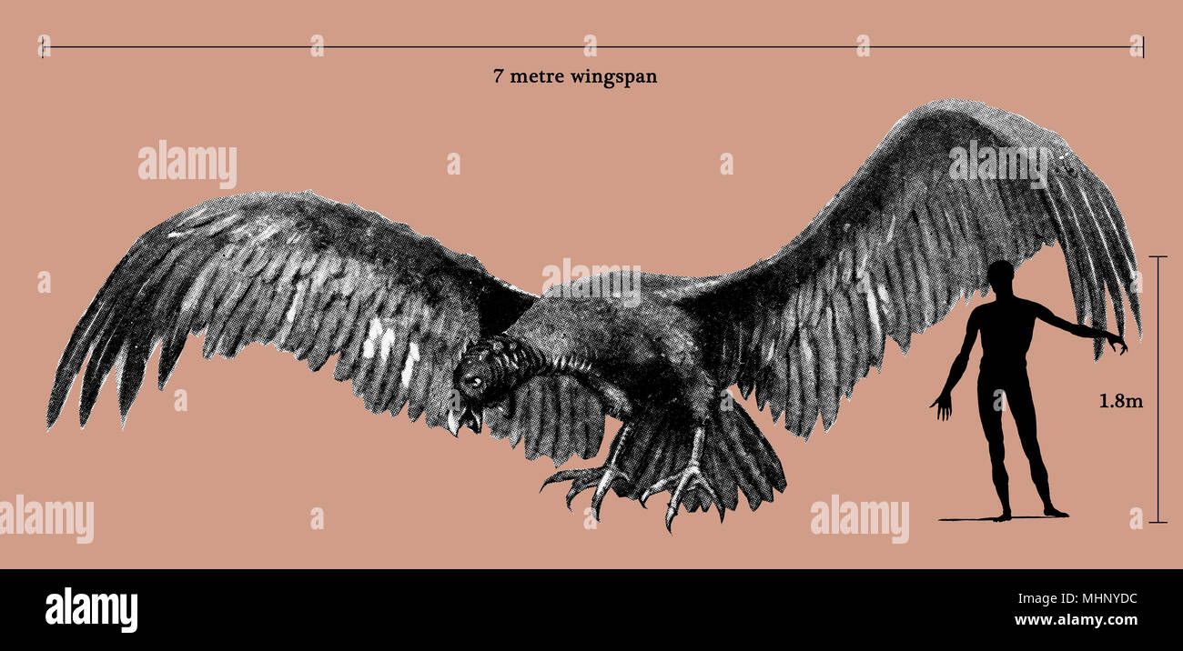 "An approximation of the shape and size of Argentavis magnificens (""magnificent Argentine bird"", or more literally ""magnificent silver bird"") compared to a human figure - among the largest flying birds ever to exist.     Date: Prehistory - Stock Image"
