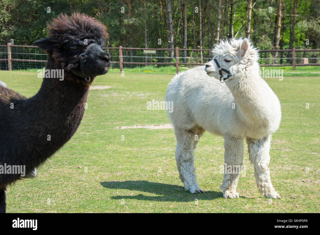 Two alpacas standing on a green pasture - white alpaca and head of brown one Stock Photo