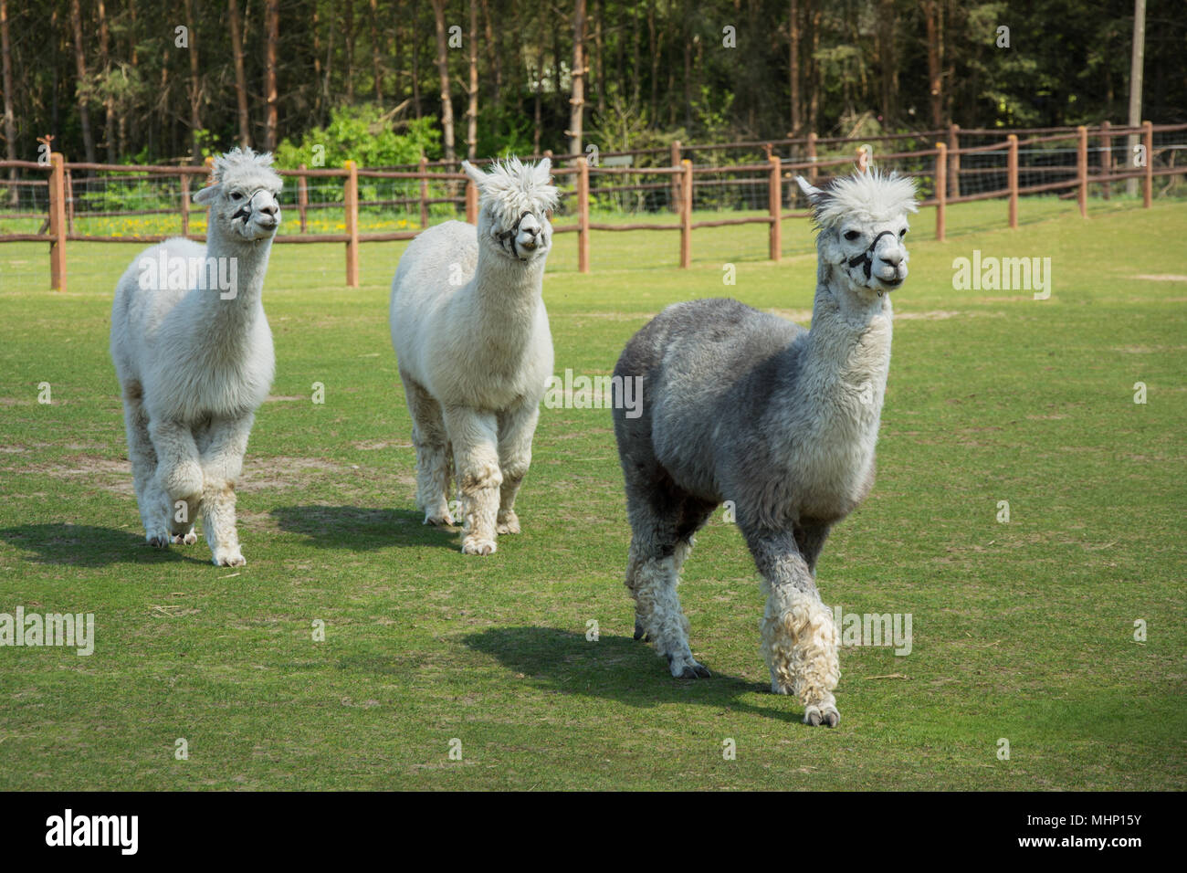 Two white alpacas and one grey alpaca walking on green pasture Stock Photo