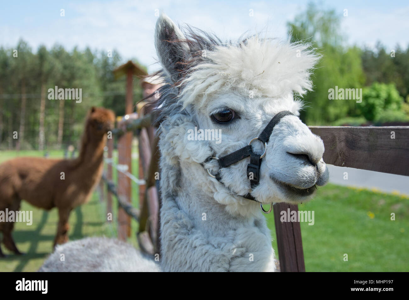 Closeup of a head of white alpaca with big black eyes and delicate muzzle Stock Photo