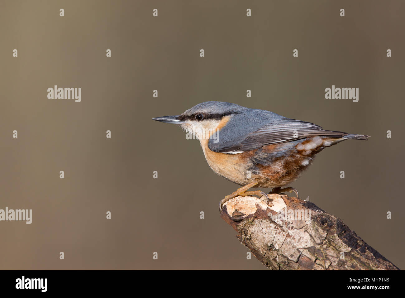 Detailed, landscape close up of single nuthatch (Sitta europaea) in profile, perched on tip of stick; whole bird visible, from the side, facing left. - Stock Image