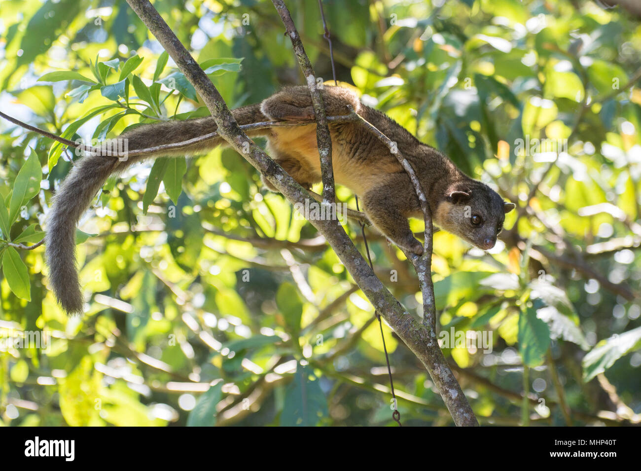 Kinkajou, Potus flavus, Procyonidae, Monteverde Cloud Forest Reserve, Costa Rica, Centroamerica - Stock Image