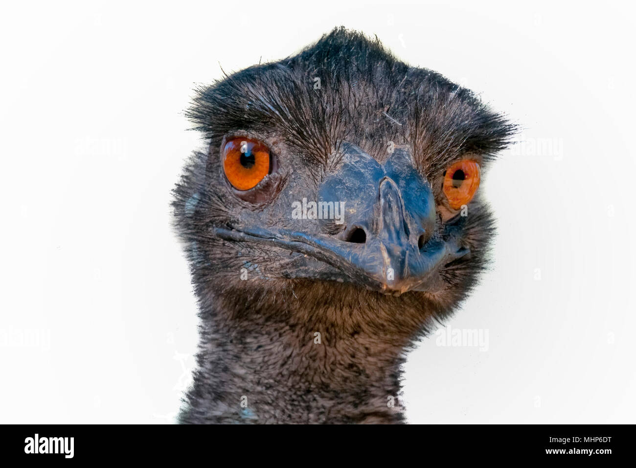 Australian Ostrich head close up looking at you on white background - Stock Image