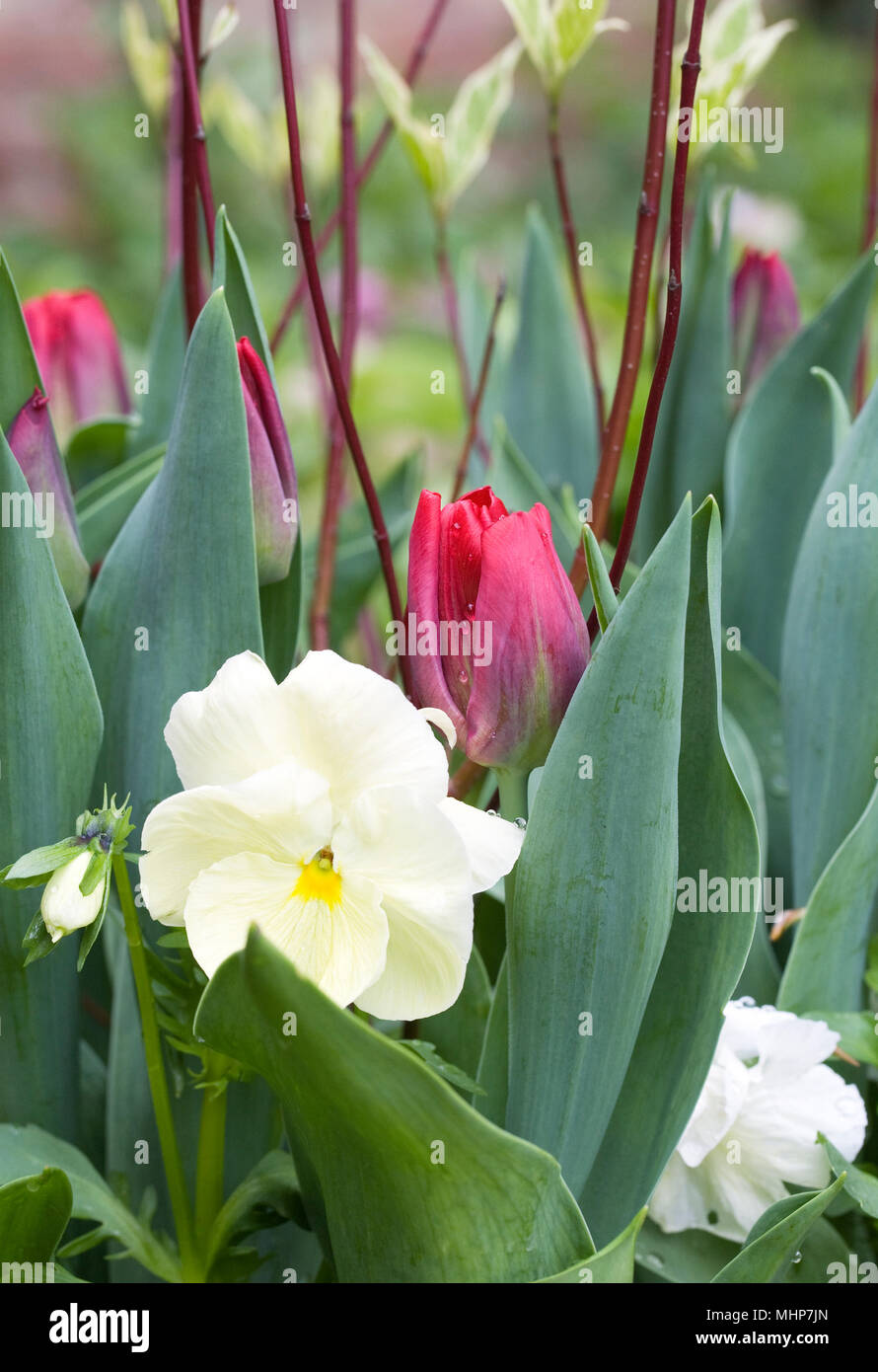 Tulips, cornus and winter pansies in a pot. - Stock Image