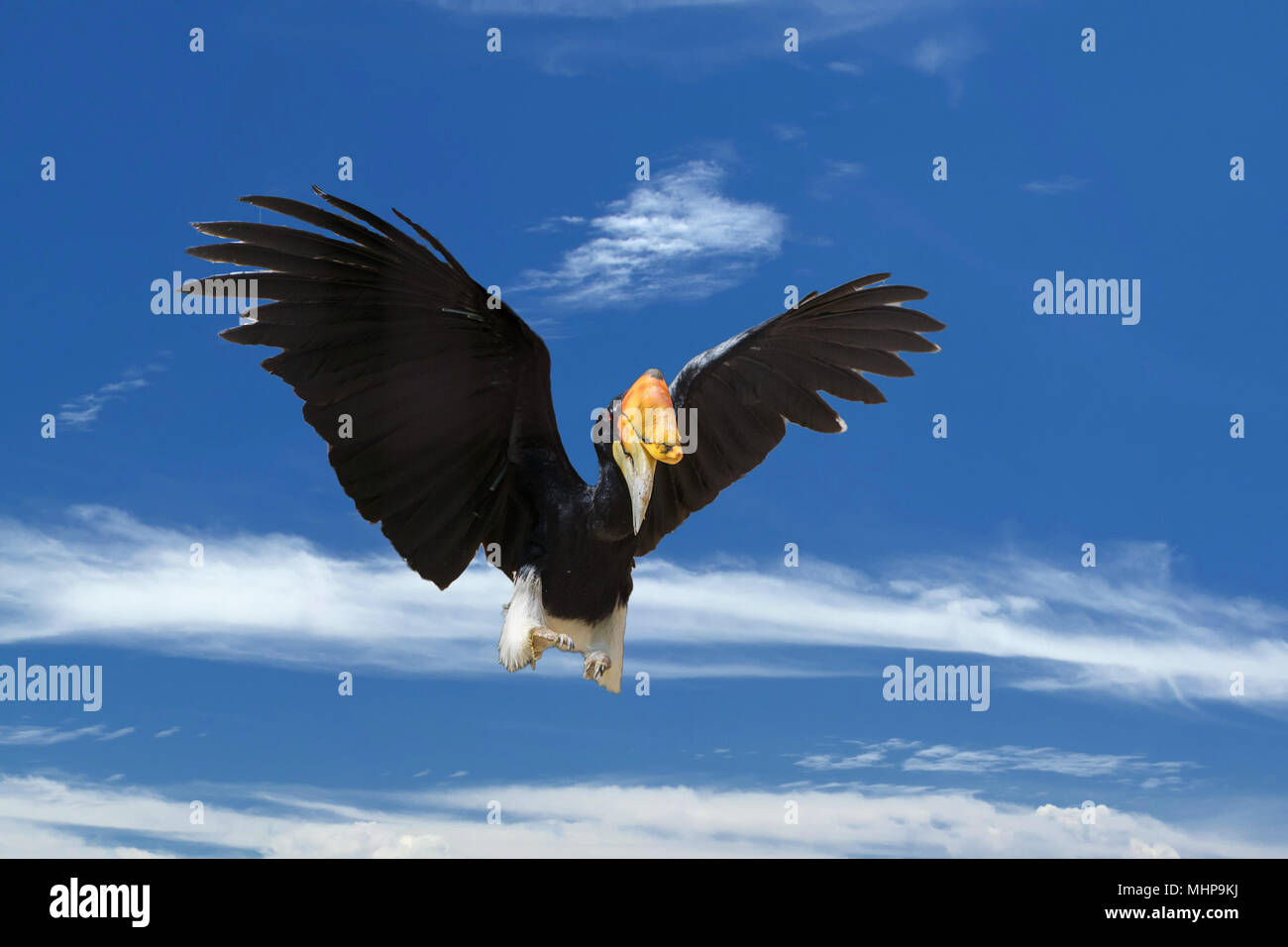 Rhinoceros Hornbill Bird While Flying To You Stock Photo Alamy