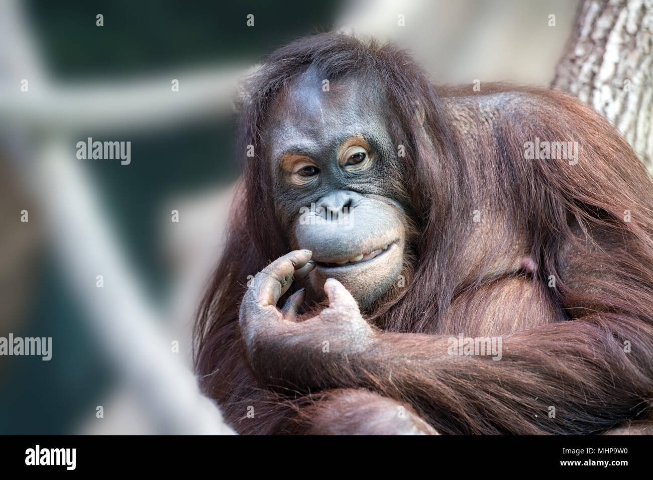 orang utan monkey looking at you while cleaning teeth with finger hand Stock Photo
