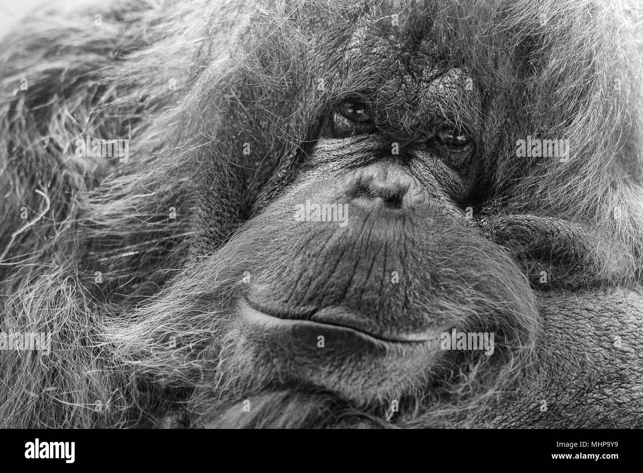 orang utan monkey looking at you in black and white Stock Photo