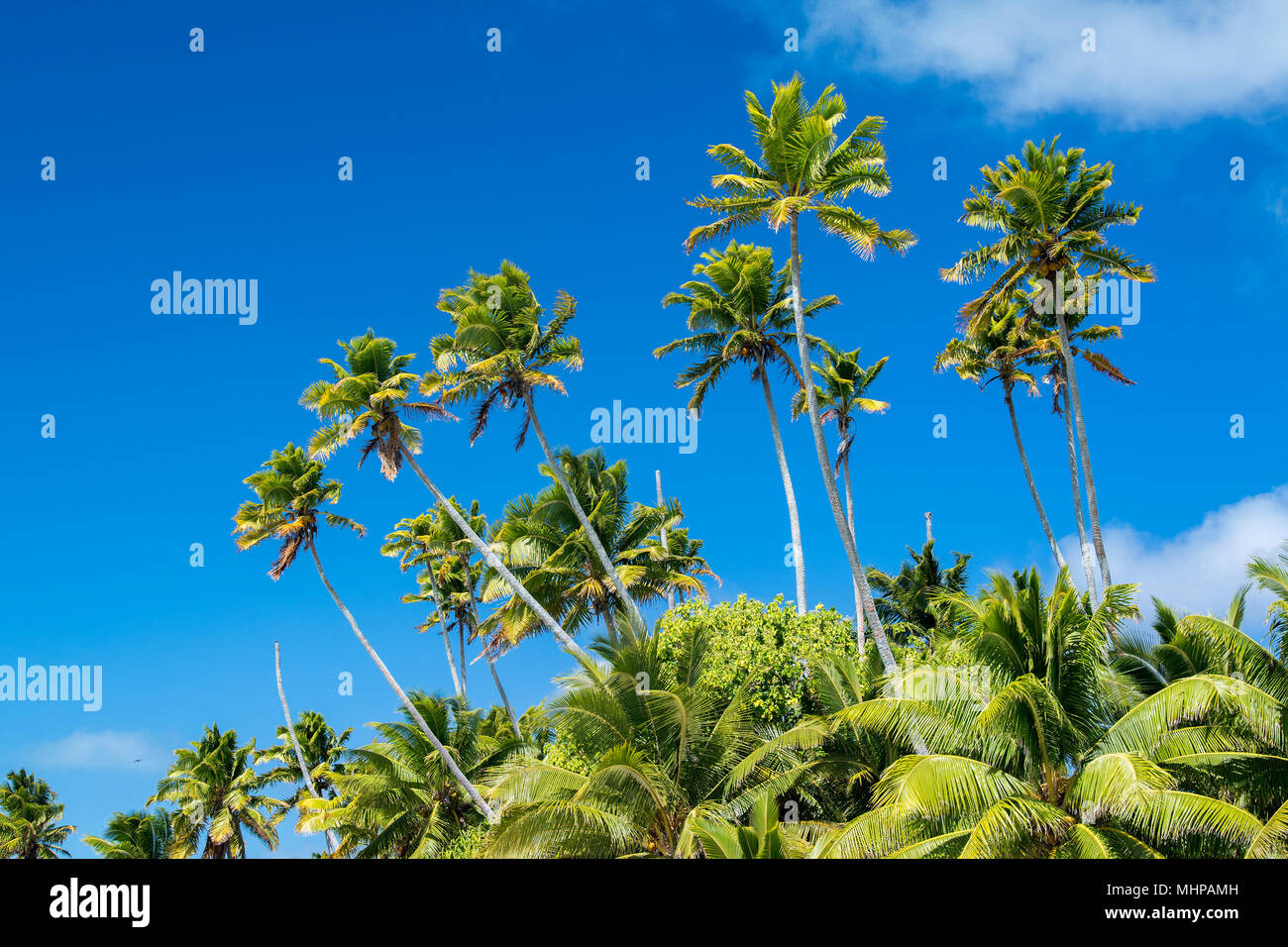 coconut palm tree detail close up in polynesia - Stock Image