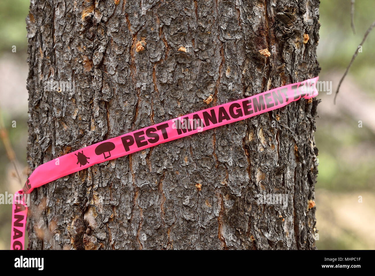 A large pine tree that has been killed by the infestation of pine beetles in rural Alberta Canada. - Stock Image