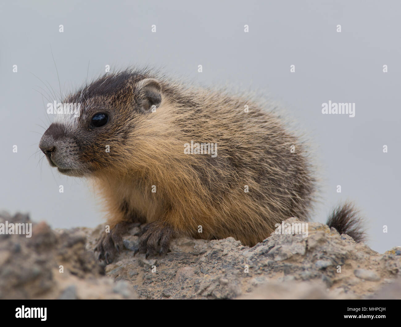 Close up of a Yellow-Bellied Marmot (Marmota flaviventris) in British Columbia Canada - Stock Image